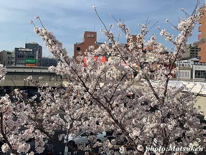 亀戸駅前歩道橋 桜